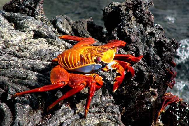 Crab on lava in the Galapagos