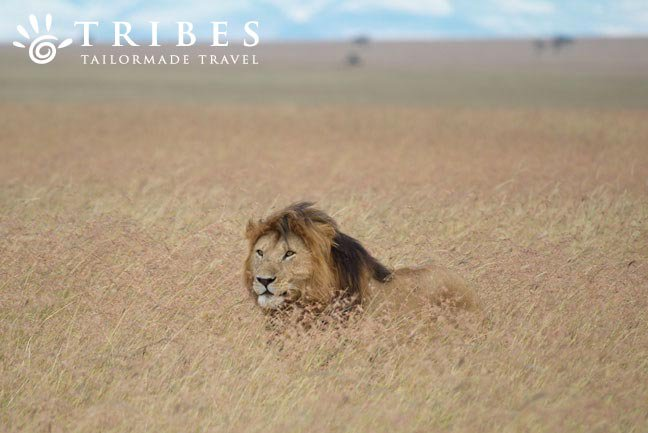 Look for big cats in the Masai Mara