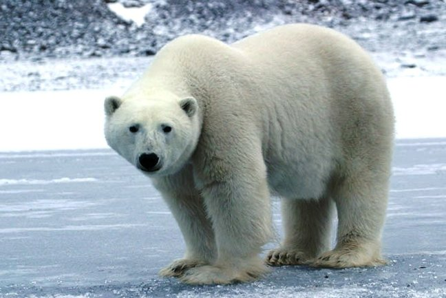 Arctic Cruise  for  Polar Bears