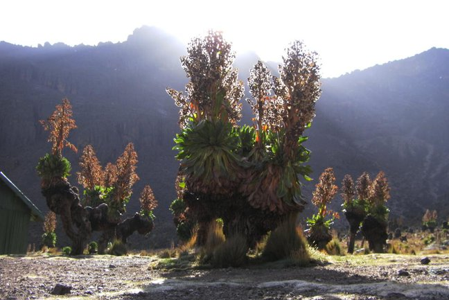 Unique alpine equatorial flora such as the giant groundsel and lobelia give a trek on Mt Kenya an other-worldly feel