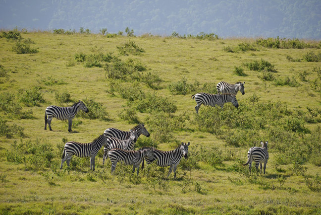 Zebras in wilderness area, L Walker