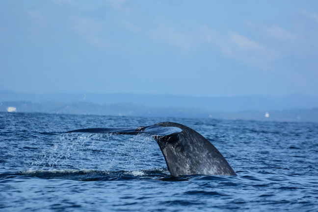 Whale Watching tour in Sri Lanka