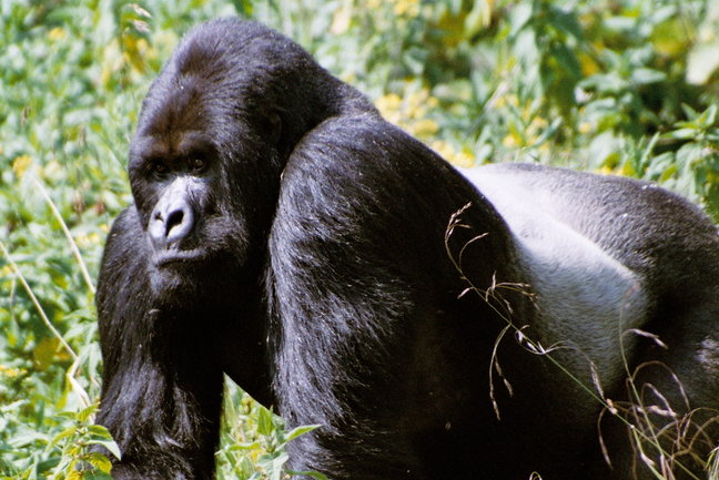 The mountain gorillas are certainly Rwanda's most famous attraction.