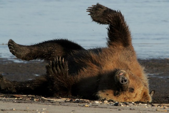 Grizzly Bears and Whales Katmai