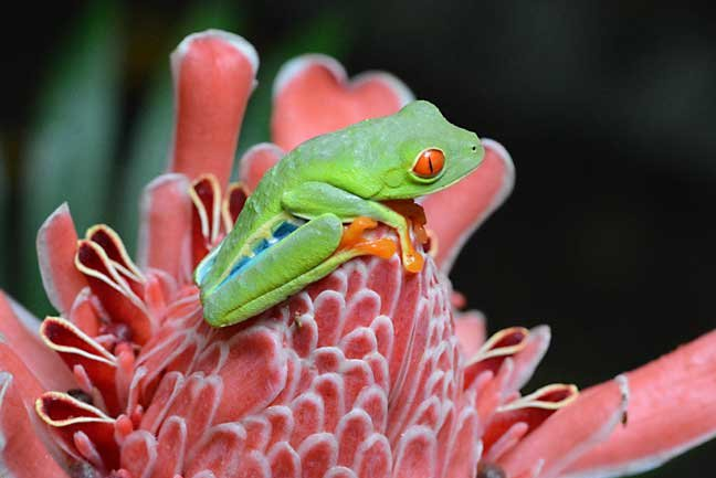 Costa Rica red-eyed treefrog