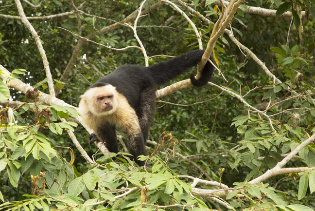White-throated capuchin, Cano Negro
