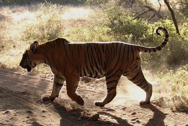 Tiger Safari Top Four in India