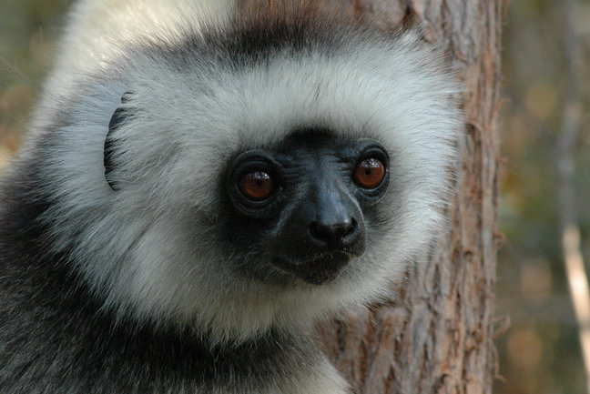 Lemurs are a special group of primates found only on Madagascar and the Comoros Islands. There are fifty species of lemurs, seventeen of which are on the endangered species list. Lemurs are prosimians, or primitive primates.