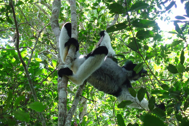 How and when lemurs became separated from the monkey family is unclear. Although it was once thought that lemurs were on Madagascar when the island separated from Africa, recent advances have shown that Madagascar was separated from Africa by hundred