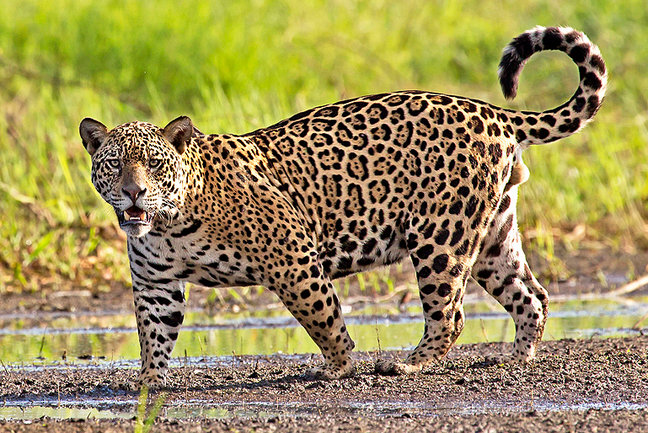 South America's Big Cats