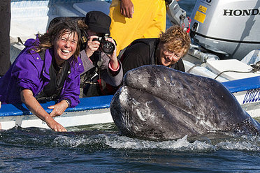 Naturetrek clients with a Grey Whale calf, Baja, Mexico