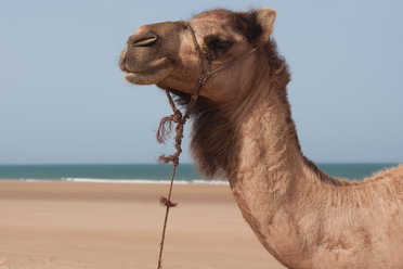 Get Morocco advice straight from the camel's mouth